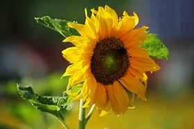 Sonnenblume, Omega-3-Fettsäuren